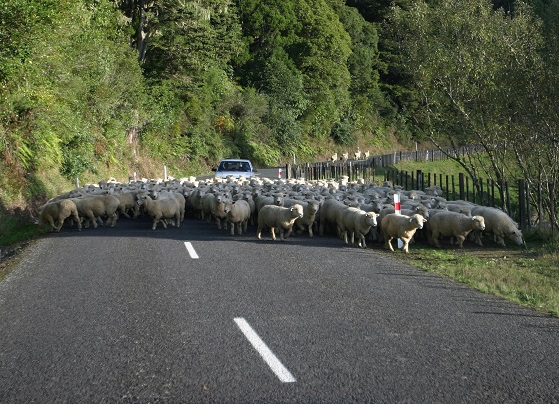 Road and sheep